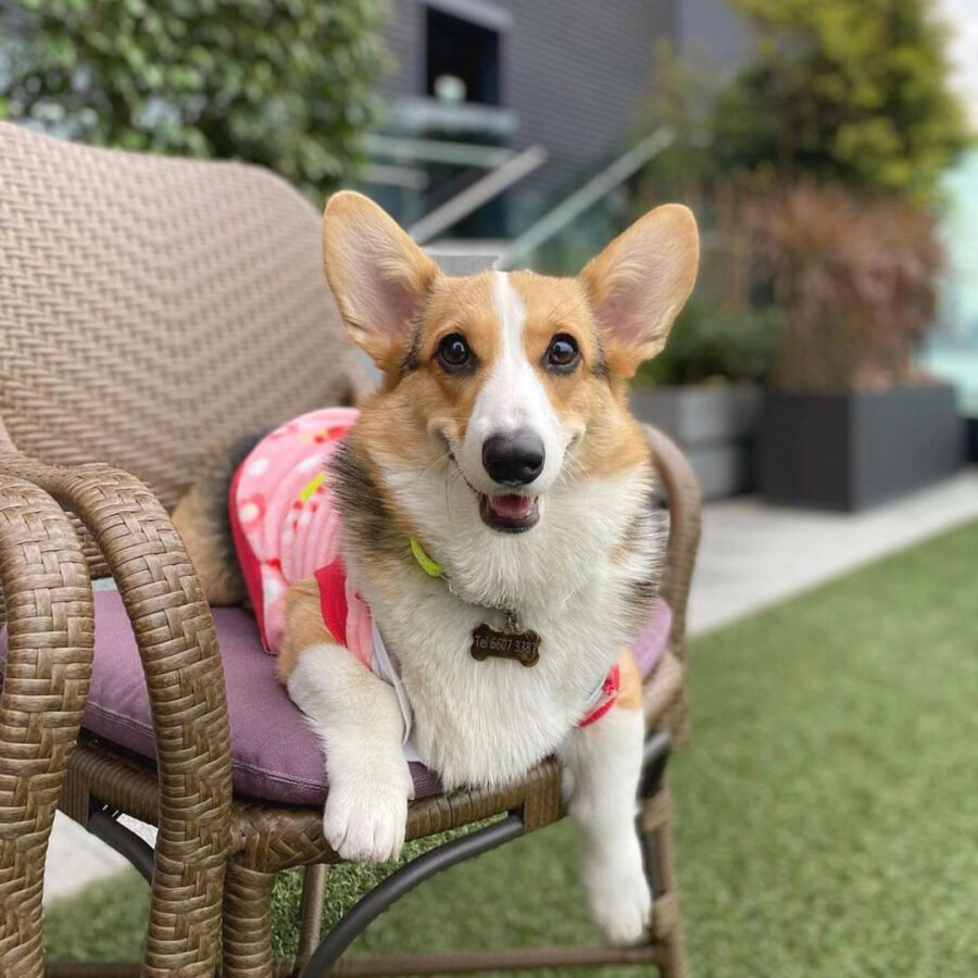 A Dog Sitting In A Lawn Chair  Description Automatically Generated With Medium Confidence